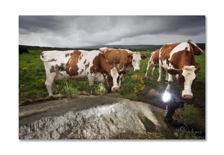 A Congregation of Cattle in Co. Kerry